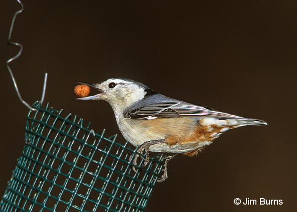 White-breasted Nuthatch at peanut feeder