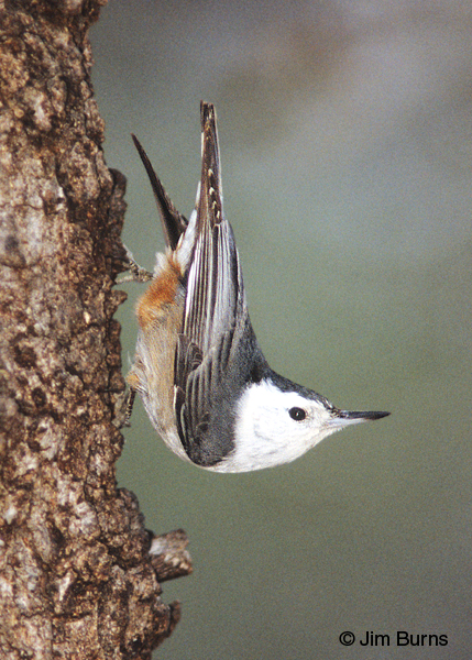 White-breasted Nuthatch in traditional pose