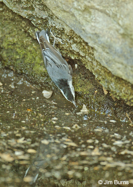 White-breasted Nuthatch taking dead moths from water