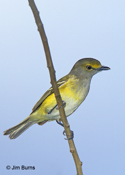 White-eyed Vireo yellow spectacles
