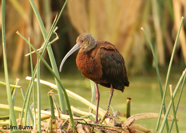 White-faced Ibis adult nonbreeding