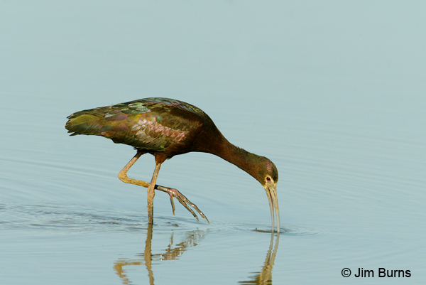 White-faced Ibis feeding