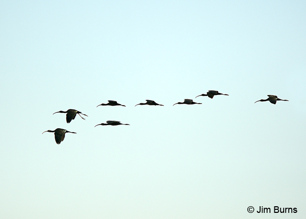 White-faced Ibis flock in flight