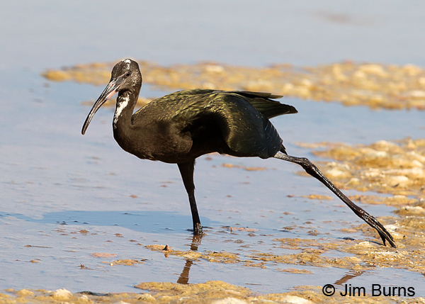 White-faced Ibis juvenile