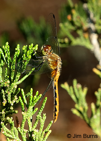 White-faced Meadowhawk immature male, Door Co., WI, July 2017