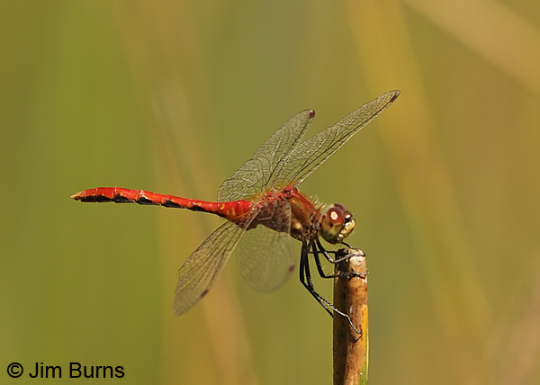 White-faced Meadowhawk male, Klamath Co., OR, July 2013