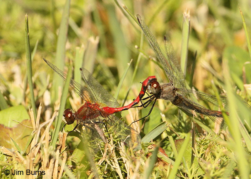 White-faced Meadowhawk pair in tandem, female ovipositing, St. Louis Co., MN, September 2011