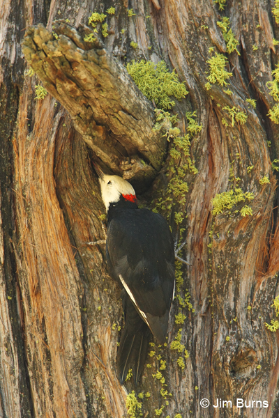 White-headed Woodpecker male searching for insects