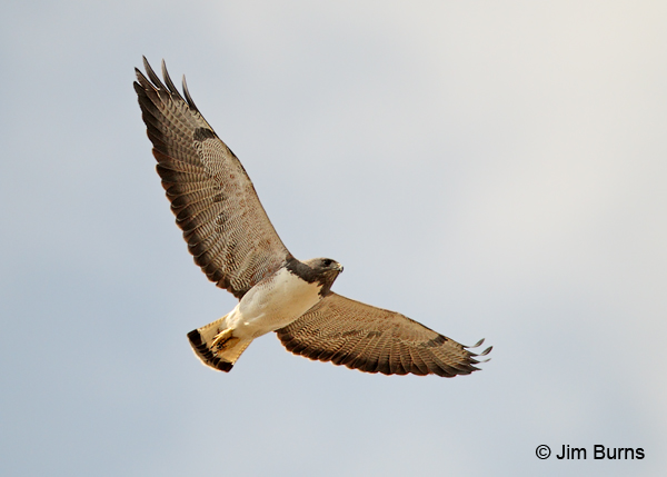 White-tailed Hawk in flight ventral view