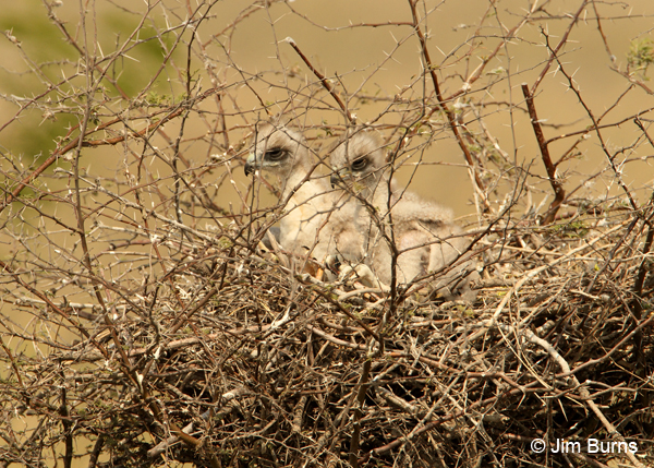White-tailed Hawk nest with nestlings