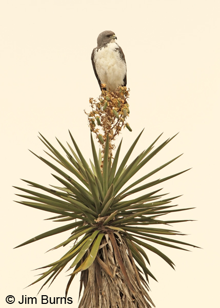 White-tailed Hawk on Yucca #2