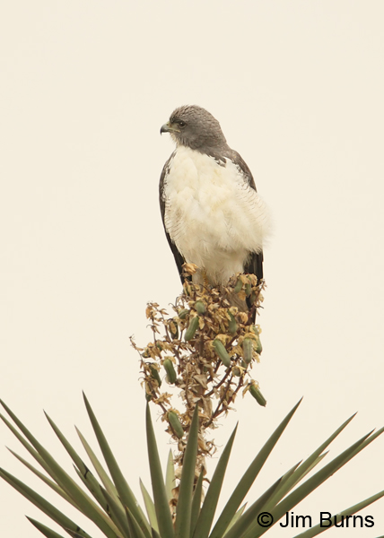White-tailed Hawk on Yucca