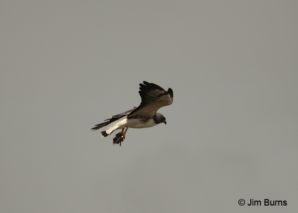 White-tailed Hawk with mouse