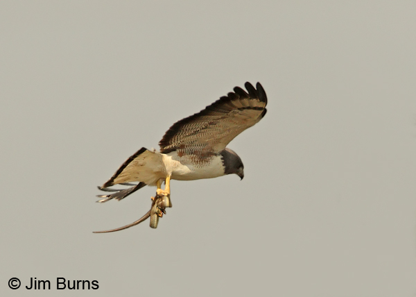White-tailed Hawk with snake #2