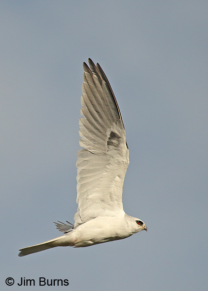 White-tailed Kite adult in flight vertical
