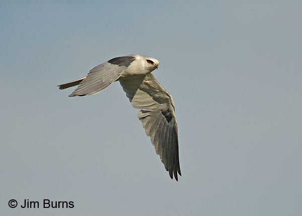 White-tailed Kite adult in flight, dorsal wing view