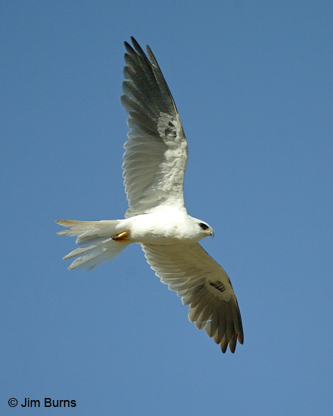 White-tailed Kite in flight overhead