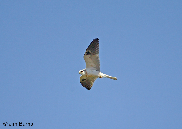 White-tailed Kite juvenile in flight
