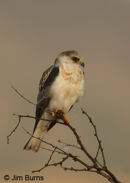 White-tailed Kite juvenile