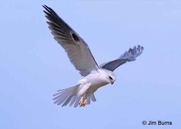White-tailed Kite kiting ventral view