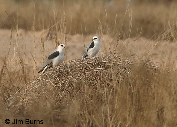 White-tailed Kite pair, female on left