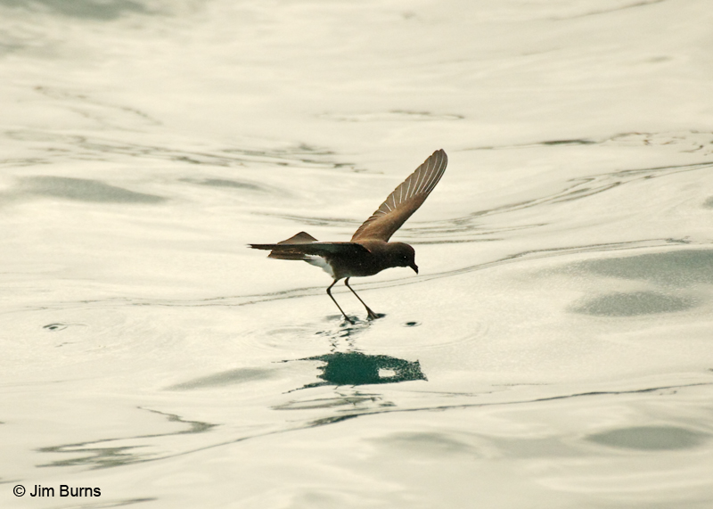 White-vented Storm-Petrel walking on water