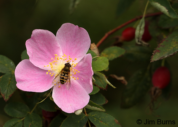 Wild Rose with bee and hips, Alaska