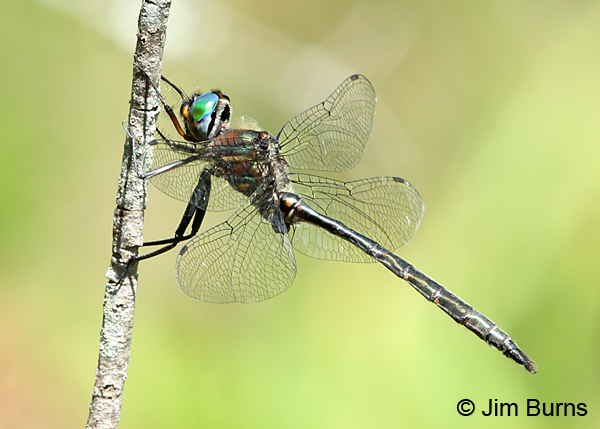 Willismson's Emerald male, Door Co., WI, July 2017