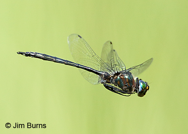 Williamson's Emerald male #2 in flight, Door Co., WI, July 2017