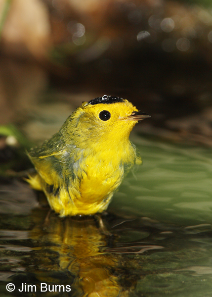 Wilson's Warbler male bathing at spring