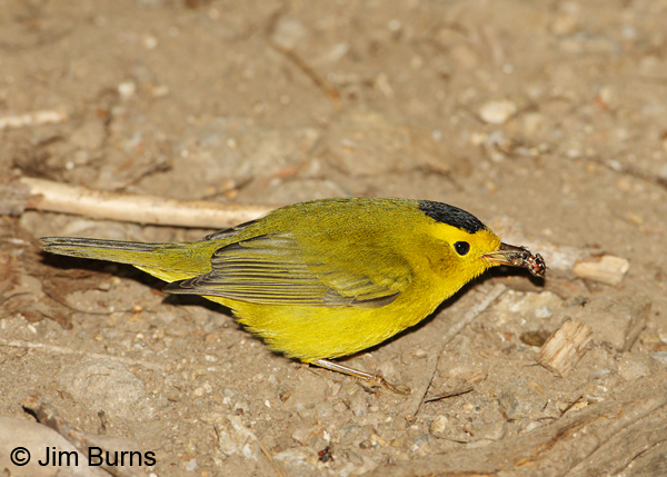 Wilson's Warbler male with bee