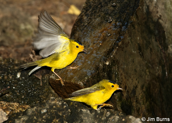 Wilson's Warbler males squabbling over water