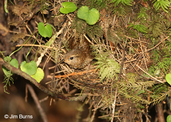 Pacific Wren peering from nest entrance