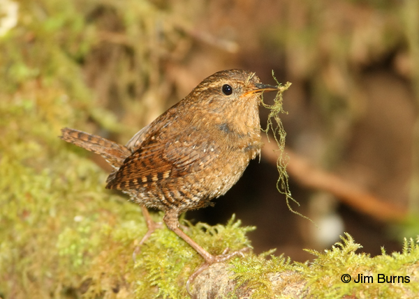 Pacific Wren with nesting material