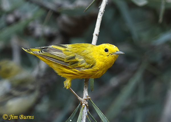 Yellow Warbler post breeding adult male molting--0674
