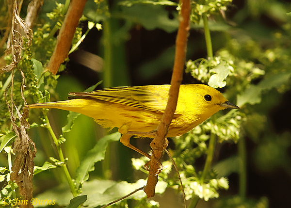 Yellow Warbler male in riparian habitat--1725