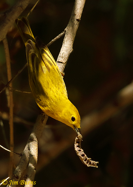 Yellow Warbler male with caterpillar--1741