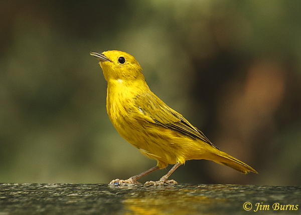 Yellow Warbler close-up--1963