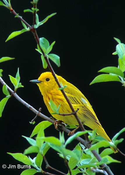 Yellow Warbler male in greenery