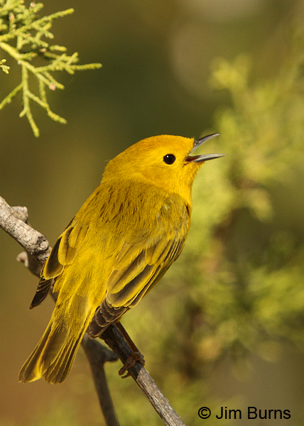 Yellow Warbler male dorsal view