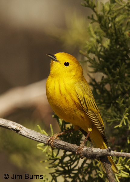 Yellow Warbler male in Juniper