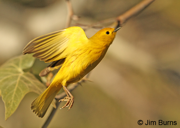 Yellow Warbler male in flight