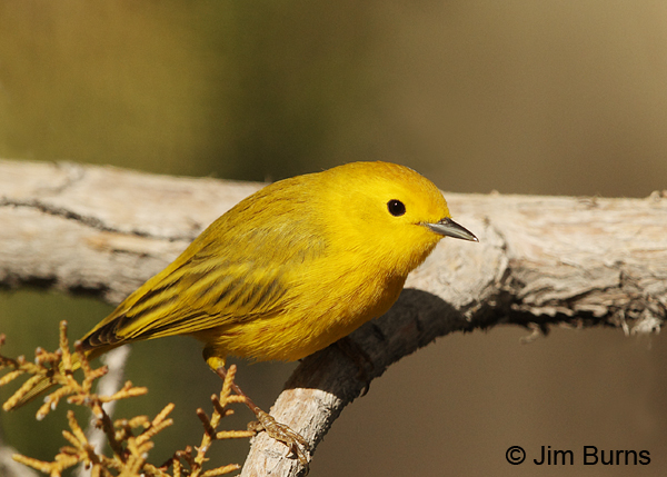 Yellow Warbler male on branch #2