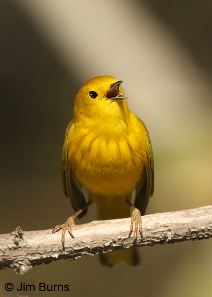 Yellow Warbler male singing