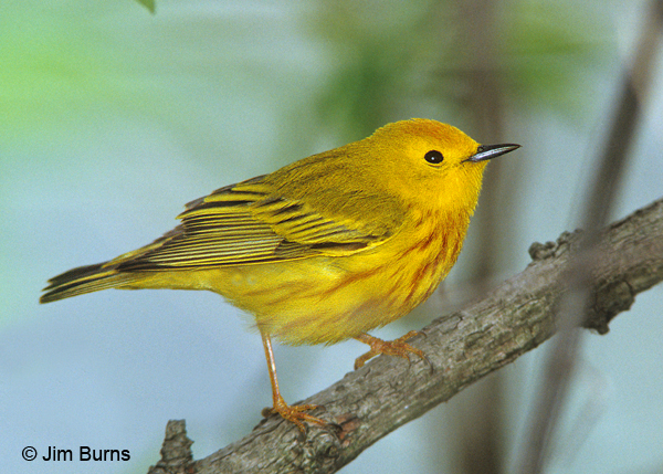 Yellow Warbler male on branch