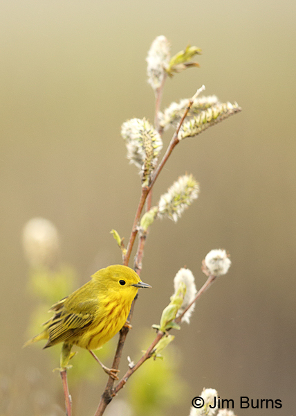 Yellow Warbler vertical
