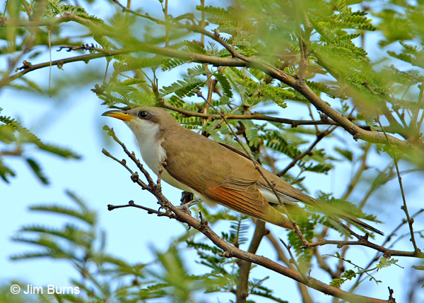Yellow-billed Cuckoo in mesquite