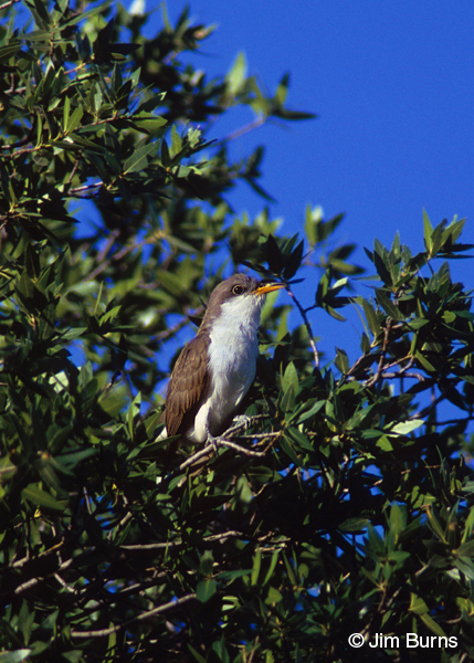 Yellow-billed Cuckoo ventral view