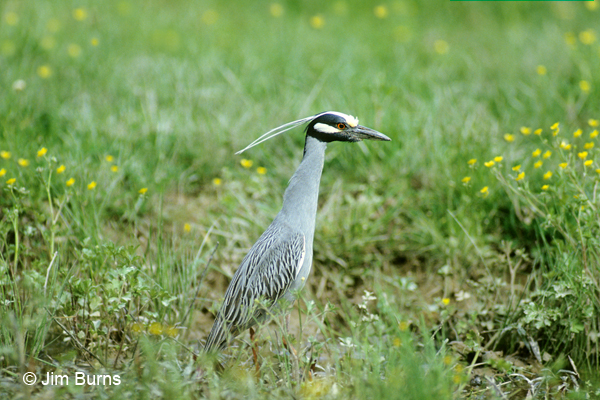 Yellow-crowned Night-Heron blooms & plumes