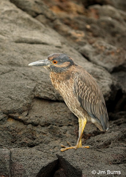 Yellow-crowned Night-Heron immature